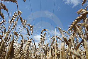 Field Of Ripening Wheat Against Blue Sky Stock Photo - Image: 15234230