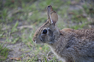 Wild Rabbit Stock Photo - Image: 15237290