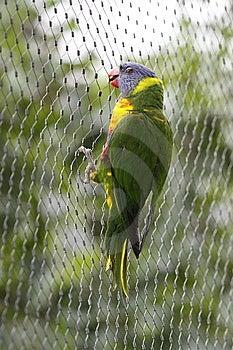 Rainbow Lorikeet Holding On Gauze Royalty Free Stock Photography - Image: 15239207