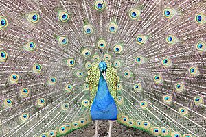 Peacock Showing Tail Royalty Free Stock Photo - Image: 15240345