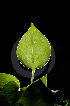 Leaves Royalty Free Stock Photo - Image: 15247265