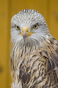 White Head Eagle - Danger Eyes Stock Photos - Image: 15248283