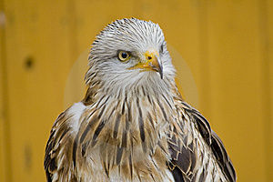 White Head Eagle - Interest Stock Photo - Image: 15248300