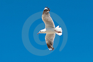 Seagull In Flight Royalty Free Stock Image - Image: 15248656