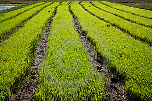 Nursery Rice In Northern Thailand Stock Images - Image: 15250734