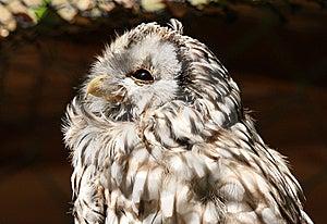 Western Screech Owl Stock Photography - Image: 15253082