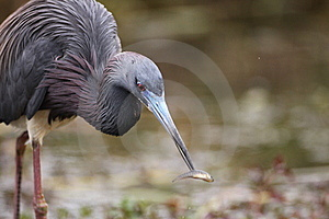 Tricolored Heron Royalty Free Stock Images - Image: 15254529