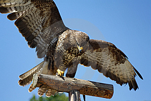 Hawk Royalty Free Stock Photography - Image: 15254877