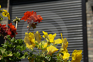 Yellow Pansy Royalty Free Stock Photography - Image: 15255197