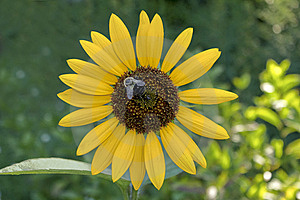 Sunflower With A Bumble Bee Stock Photography - Image: 15256222