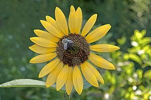Sonnenblume Mit Einer Durchmogelnbiene Stockfotografie - Bild: 15256222