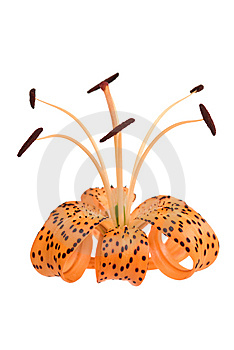 Orange Lily On White Stock Photo - Image: 15256920