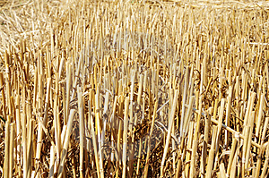 Corn Stems After Harvesting Royalty Free Stock Images - Image: 15257259
