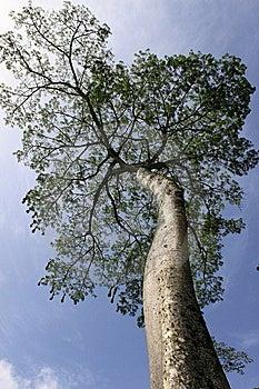 Big Tropical Tree Stock Photo - Image: 15257900