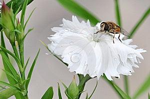 Honeybee Royalty Free Stock Images - Image: 15261549