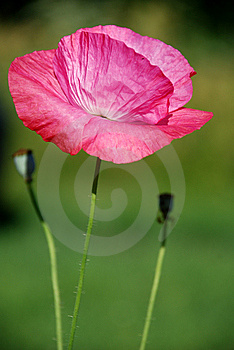 Crimson Poppy Stock Photo - Image: 15261660