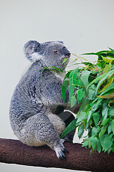 Koala Bear Royalty Free Stock Images - Image: 15263419