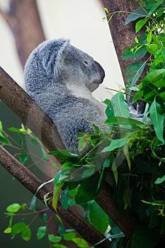 Sleeping Koala Bear Royalty Free Stock Photography - Image: 15263537