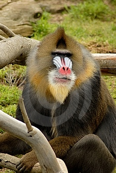 That's No Baboon! Royalty Free Stock Photography - Image: 15272367