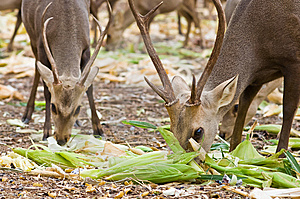Deer Eating. Stock Image - Image: 15272471