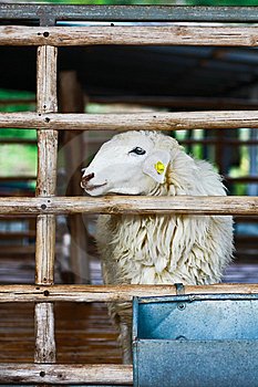 Sheep In Cage Stock Photography - Image: 15272642