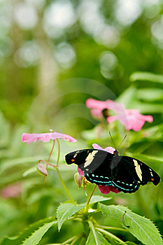 Grecian Shoemaker Butterfly Royalty Free Stock Photo - Image: 15273125