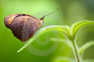 Grecian Shoemaker Butterfly Royalty Free Stock Image - Image: 15273146