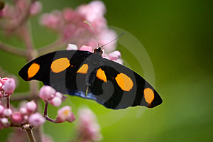 Grecian Shoemaker Butterfly Stock Photography - Image: 15273152