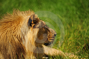 Lion Stock Photography - Image: 15275102