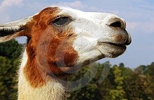 Curious Lama Stock Image - Image: 15277321