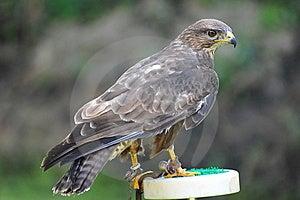 Hawk Stock Photos - Image: 15278163