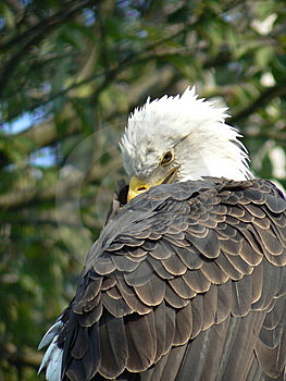 Bald Eagle Royalty Free Stock Images - Image: 15278519