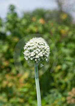 Onion Flower Stock Image - Image: 15279851