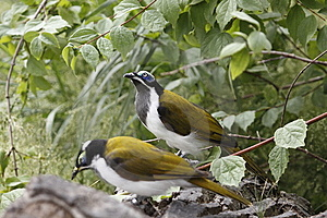 Blue-faced Honeyeaters Royalty Free Stock Photo - Image: 15280155