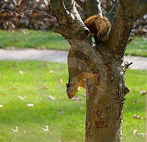 Squirrel Stock Photo - Image: 15283470