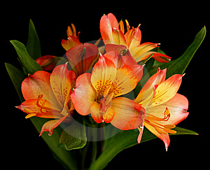 Parrot Lily Flower In Bloom Stock Photos - Image: 15285783