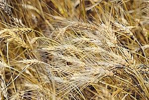 Closeup Of Wheaten Field Stock Image - Image: 15286781