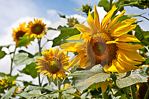 Tournesols Photos stock - Image: 15287853