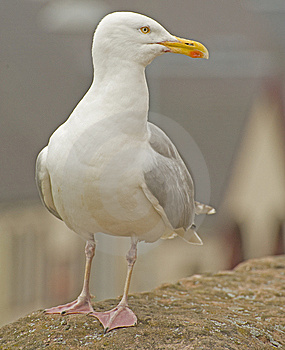 Seagull Portrait. Royalty Free Stock Images - Image: 15289019