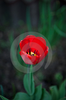 First Tulip Stock Photography - Image: 15291542