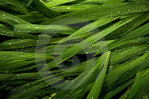 Raindrops On Ornamental Grass Royalty Free Stock Photo - Image: 15292145
