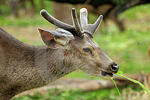 Spotted Deer Royalty Free Stock Photo - Image: 15294985