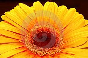 Orange daisy Free Stock Image