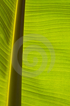 Banana Leaf Stock Image - Image: 15300001