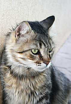 Cat At The Wall. Stock Photos - Image: 15300783