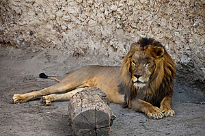 African Lion Stock Photos - Image: 15309853