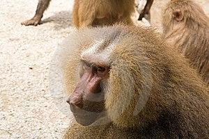 Portrait Of Monkey Stock Image - Image: 15310061