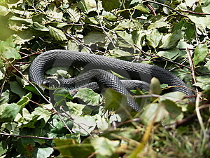 Grass-snake Royalty Free Stock Image - Image: 15313976