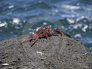 Rock Crab Stock Photography - Image: 15315192