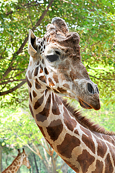 Portrait Of A Giraffe Royalty Free Stock Image - Image: 15315386